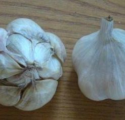 Garlic - NY White (Medium) cropped (Mobile)