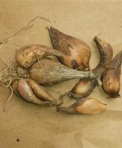 French Gray Shallots (Mobile)