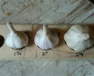 3-sizes-garlic-mobile